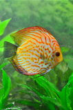White leopard discus fish. Albino variety of a leopard discus fish stock photo