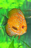 White leopard discus fish Royalty Free Stock Photo