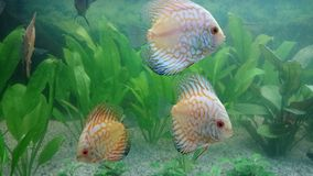 White leopard discus fish aquarium Stock Photography