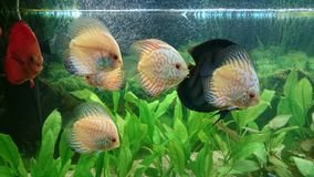 White leopard discus fish aquarium Royalty Free Stock Image