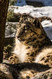 White Leopard Resting. Bronx Zoo 2014 Royalty Free Stock Photography
