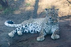 White Leopard. On Tbilisi zoo stock image