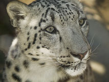 White Leopard in Zoo Royalty Free Stock Photo