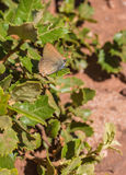 White-Letter Hairstreak Butterfly Royalty Free Stock Photos