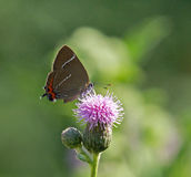 White Letter Hairstreak Butterfly Stock Image