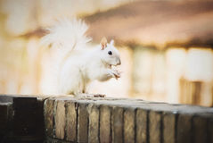 White Leucistic Squirrel Eating a Peanut Royalty Free Stock Photography