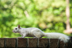White Leucistic Squirrel Royalty Free Stock Image
