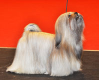 White Lhasa Apso dog. The Lhasa Apso is a non-sporting dog breed originating in Tibet. The texture of the coat is heavy, straight, hard, neither woolly nor silky Stock Photography