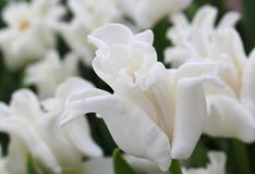 White Liberstar Tulip. Spring in the Netherlands royalty free stock photo