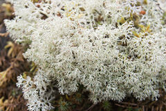 White lichen Royalty Free Stock Image