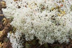 White lichen. Close-up of white lichen, north of Russia Royalty Free Stock Image