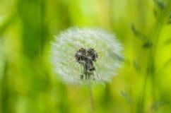 White light dandelion on green background Stock Image