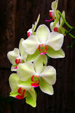 White and  light green phalaenopsis orchids Stock Photos