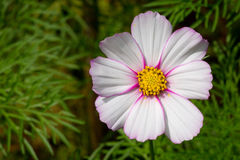 White Light Pink Cosmos Flower Royalty Free Stock Photography