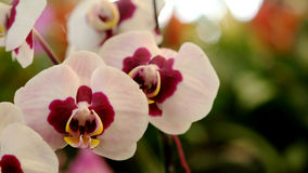 White and Light pink Farland orchid in colorful flower garden with soft focus background. Have some space for write wording stock photography