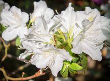 White light pink rhododendron flowers. subtropical plant.  Stock Photos