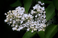 White lilac. Bushes of a white lilac have blossomed extending wonderful aroma Stock Images