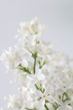 White lilac Stock Photos