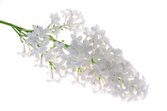 White lilac Royalty Free Stock Photos