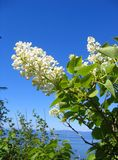 White lilac. Flower against a blue sky and the sea Stock Images