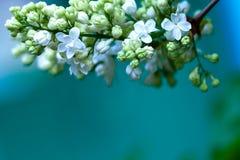 White lilac Stock Image