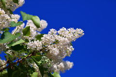 White lilac against blue sky Stock Photos