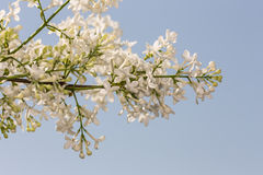 White lilac against the sky Stock Image