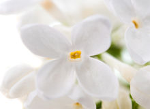 White lilac Royalty Free Stock Photography