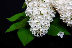 White lilac on a black background Stock Image