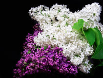 White lilac on a black background Stock Photos