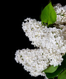 White lilac on a black background Stock Photography
