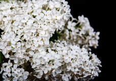 White lilac on a black background Royalty Free Stock Photos