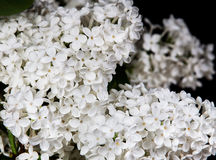White lilac on a black background Royalty Free Stock Image