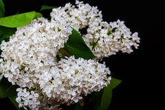 White lilac on a black background Stock Photo