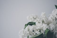 White Lilac in Bloom Royalty Free Stock Photo