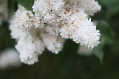 White lilac blooming in spring garden syringa chinensis stock images