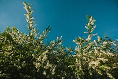 White lilac blooms in the forest. springtime. bue sky. White lilac blooms in the forest. springtime stock photo