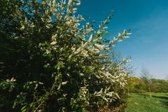 White lilac blooms in the forest. springtime. bue sky. White lilac blooms in the forest. springtime. bue sky stock photos