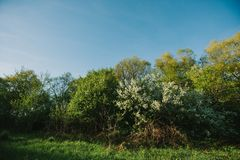 White lilac blooms in the forest. springtime. bue sky. White lilac blooms in the forest. springtime. bue sky stock image