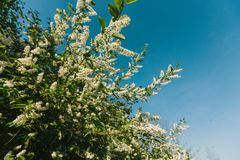 White lilac blooms in the forest. springtime. bue sky. White lilac blooms in the forest. springtime. bue sky royalty free stock images