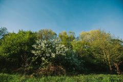White lilac blooms in the forest. springtime. bue sky. White lilac blooms in the forest. springtime. bue sky royalty free stock image