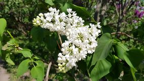 White lilac blossoms. White lilac blooms on a lush bush with green foliage. season flowering lilac stock video