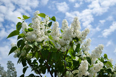 White Lilac Blossom. A white lilac blossom grows and shows itself in a full brightness Royalty Free Stock Images