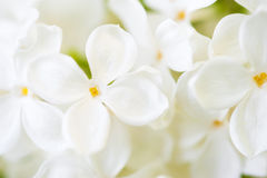 White lilac blossom in spring Royalty Free Stock Image