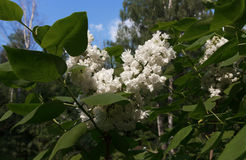 White lilac. Blossoming branch of a white lilac close-up Royalty Free Stock Images