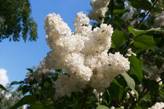 White lilac. Blossoming branch of a white lilac close-up stock image