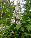 White lilac. Blossoming branch of a white lilac close-up Stock Photos