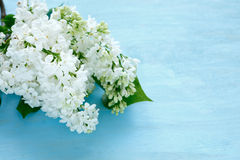 White lilac on blue background Royalty Free Stock Photography