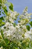 White Lilac. Stock Photos
