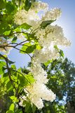 White lilac branch on a bright Sunny day. The nature of the flora of temperate climate stock photo